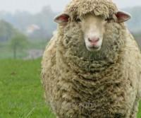 histoire-origine-laine-mouton