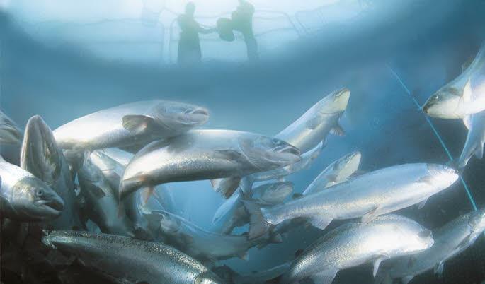 capture-d-ecran-marine-harvest